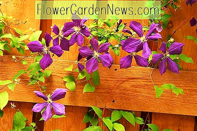 Clematis Blooming Seasons