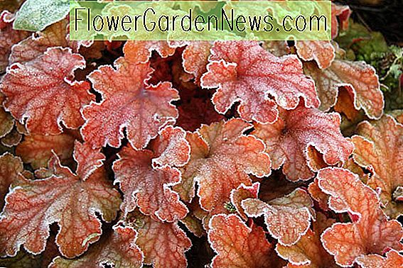 Heuchera 'Peach Flambe' (Korallenglocken)