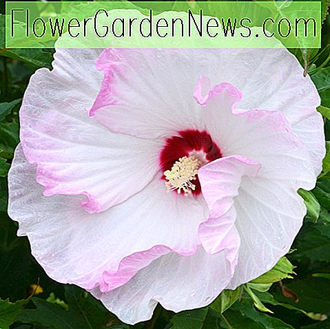 Hibiscus 'Ballet Slippers' (Rose Mallow)