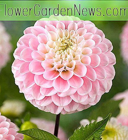 Dahlia 'Little William', 'Little Willem' Dahlie, Dahlia 'Little Willem', 'Little William' Dahlie, Pompon Dahlien, rosa Dahlien, rote Dahlien, Dahlienknollen, Dahlienknollen, Dahlien, Dahlien, Sommerzwiebeln