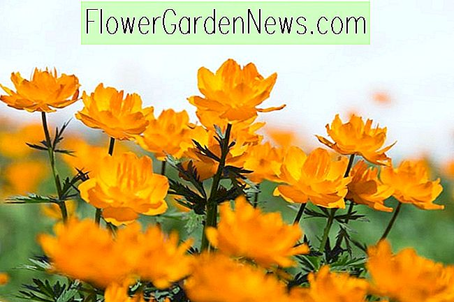 Trollius x cultorum 'Orange Prinsesse' (Globe Flower)