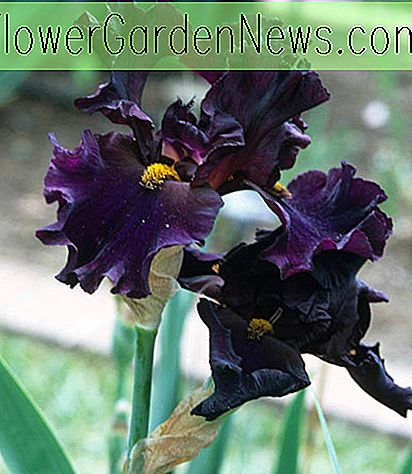 Iris 'Men In Black' (Iris con barba)