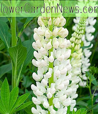 Lupinus 'Noble Maiden' (Lupin)