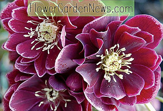 Helleborus Winter Jewels 'Gemme d'améthyste'