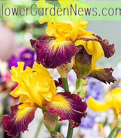 Iris 'Who Needs A Prince' (Bearded Iris)