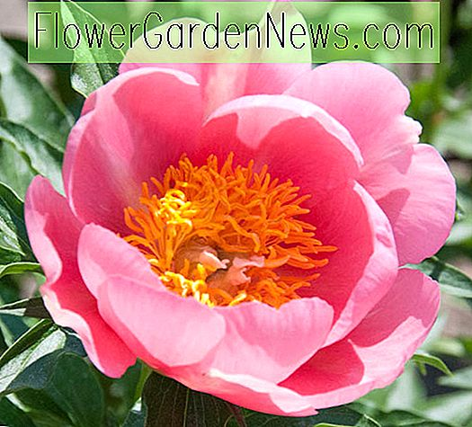 Paeonia 'Lovely Rose' (Peony)