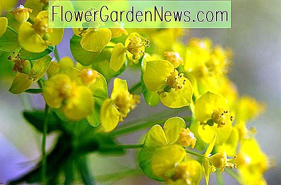 Euphorbia cyparissias (Cypress Spurge)