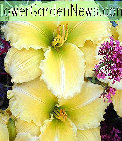 Hemerocallis Siloam Amazing Grace, Daylily Siloam Amazing Grace, Day Lily Siloam Amazing Grace, Siloam Amazing Grace Daylily, Early Midseason Daylily, Yellow daylilies, Yellow Daylily, Yellow flowers, Yellow Hemerocallis