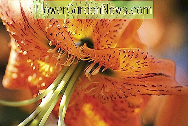 Lilium Henryi (Henry's Lily)