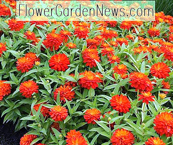Zinnia marylandica 'Double Zahara Fire', Zinnia 'Double Zahara Fire', ซีรีส์ Double Zahara, Orange Zinnia, ส้ม Double Zinnia