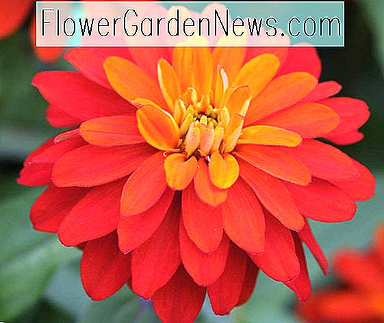 Zinnia Marylandica 'Double Zahara Feuer'