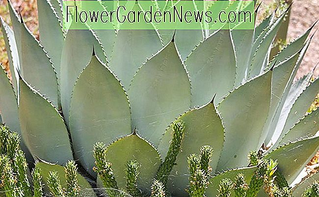 Agave parryi, Artischocken-Agave, Parry's Century Plant