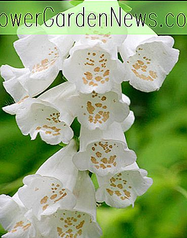 Digitalis purpurea 'Camelot White' (Gemeine Fingerhut)