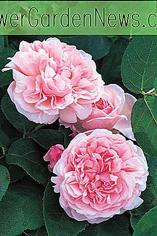 Rosa 'St. Swithun' (Auswith)