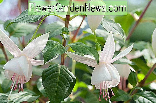 Fuchsia 'White Joy'