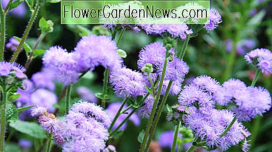 Ageratum houstonianum 'Blue Horizon' (Floss Flower)