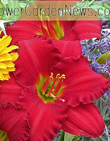 Hemerocallis 'Woodside Ruby' (Taglilie)