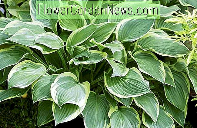 Hosta fortunei var.  aureomarginata (Gold-Edged Plantain Lily)