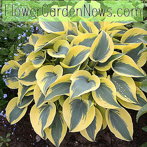 Hosta 'Autumn Frost' (Plantain Lily)