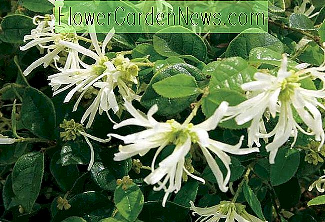 Loropetalum chinense 'Carolina Moonlight' (Chinesische Fransenblume)