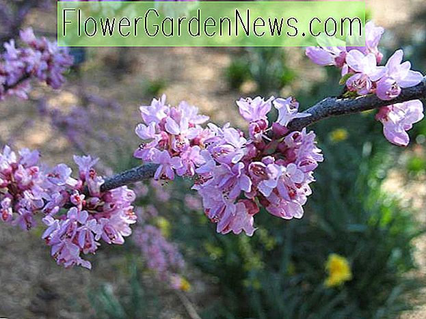 Cercis canadensis Ace of Hearts, Eastern Redbud Ace of Hearts, Struik, Kleine boom, Roze bloemen,