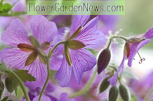 Fabulous Hardy Geraniums för din Pacific Northwest Garden Borders