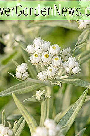 Anaphalis triplinervis 'Sommerschnee' (Pearly Everlasting)