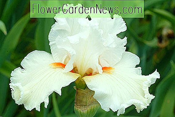 Iris 'Catch A Star' (Bearded Iris)