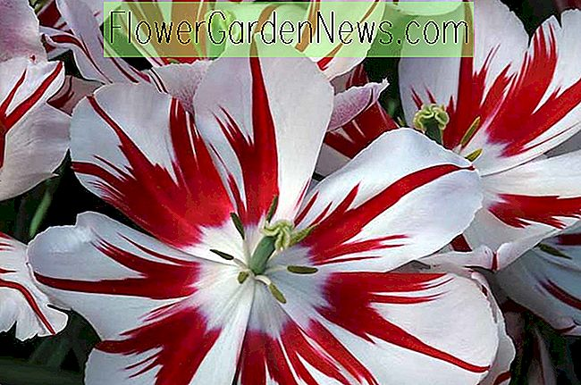 Tulipa 'Ice Follies' (Triumph Tulpe)