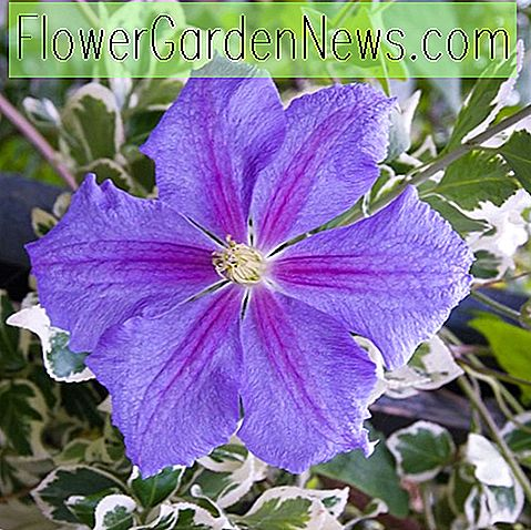Clematis 'Perle d'Azur' (Late Large-Flowered Clematis)