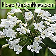 Agapanthus 'Arctic Star', African Lily 'Arctic Star', Nilens Lily 'Arctic Star', Vit blomma, White Agapanthus, White African Lily