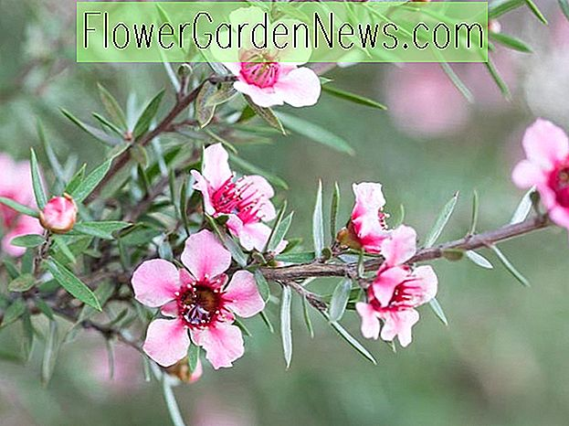 Leptospermum scoparium (Tea Tree)
