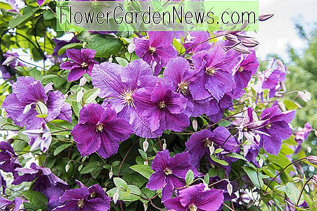 Great Clematis for Middle South Region