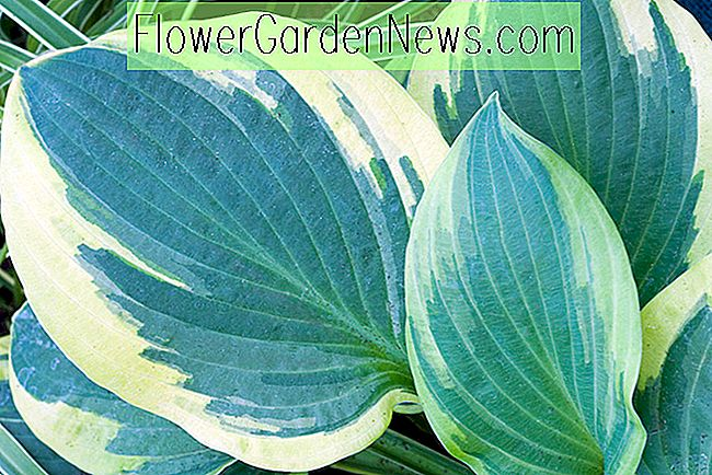 Hosta 'Blue Ivory' (Weegbree Lily)