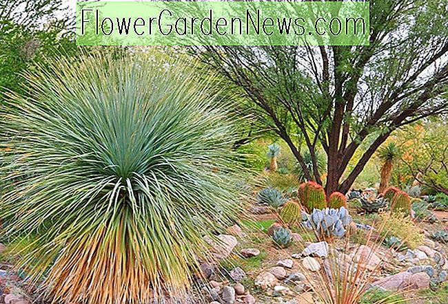 Yucca rostrata, Beaked Yucca, Big Bend Yucca, Droogte verdraagzaam, Tree Yucca, Hardy succulent