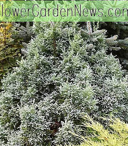 Chamaecyparis pisifera 'Curly Tops' (Sawara Cypress)