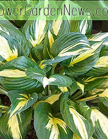 Hosta 'Revolution' (Plantain Lily)