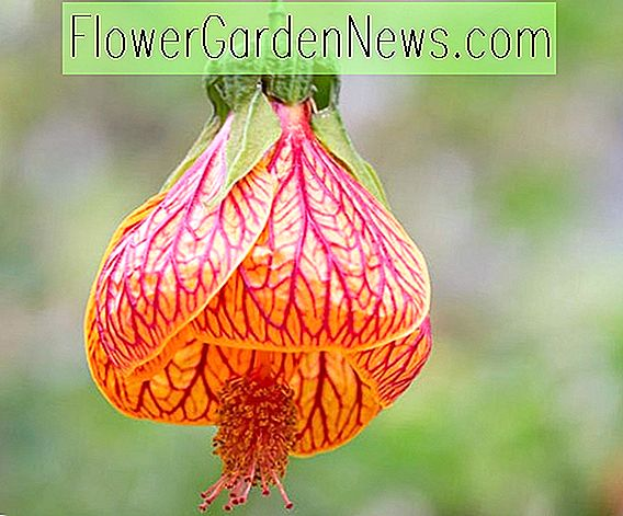 Abutilon striatum (Red Vein Indian Mallow)