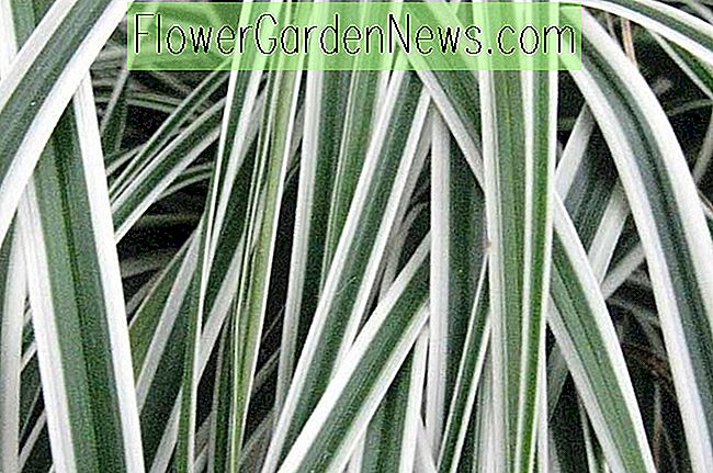 Carex oshimensis 'Everest' (ญี่ปุ่น Sedge)