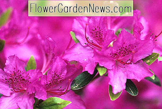Rhododendron 'Karens'