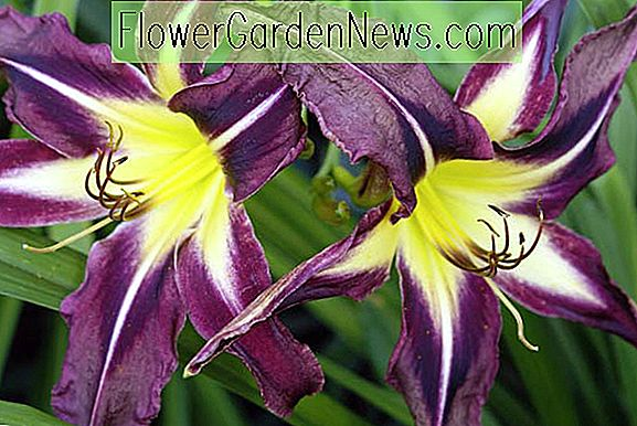 Hemerocallis 'Planet Max' (Taglilie)