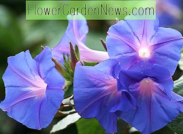 Ipomoea indica (Blue Morning Glory)