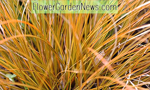 Carex testacea 'Prairie Fire' (Nya Zeeland Hair Sedge)