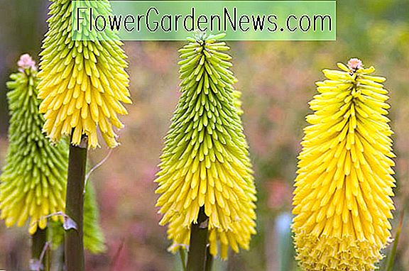 Knophofia 'Bee' Lemon '(Red Hot Poker)