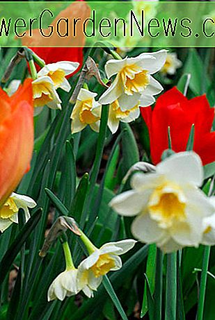 Narcissus 'Bell Song' (Jonquil Daffodil)