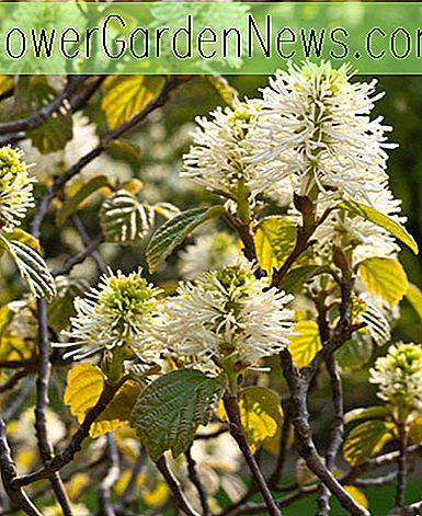 Fothergilla major (Berghexerle)