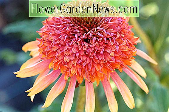 Echinacea 'Secret Desire' (Coneflower)