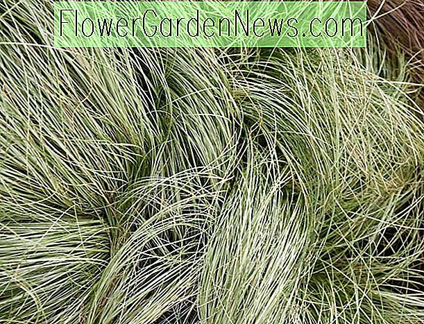Carex Comans 'Frosted Curls' (Neuseeland Haarsegge)