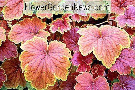 Heuchera 'Delta Dawn' (Coral Bells)