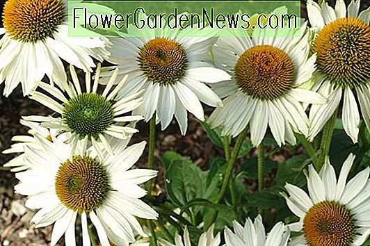 Echinacea purpurea 'Fragrant Angel' (Coneflower)